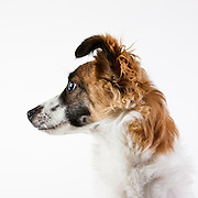 This is one that I photographed at the animal control facility (as opposed to the humane society) in Washington.  They didn't have an ideal spot for me to work and there was always a LOT of distraction for the animals making it more difficult to get them to look at the camera.  Still, I like the profile.