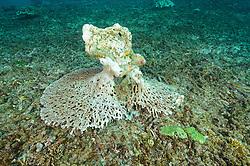 Abgebrochene Tischkoralle auf totem Korallenriff, Korallenbeiche, broken table coral at dead coral reef, Coral bleaching, Candidasa, Bali, Indonesien, Indopazifik, Bali, Indonesia Asien, Indo-Pacific Ocean, Asia