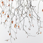 Tree branches with drops and some leaves against a misty background