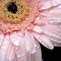 Water drops on a pink gerber daisy.