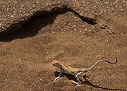 A lizard in the desert. Its feet and body are propped up away from the ground, to reduce heat. Eremias acutorostris, commonly known as the Point-snouted Racerunner.