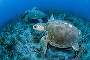 Two loggerhead sea tutles, Caretta caretta, swim side by side on a coral reef in Palm Beach, Florida, United States.
