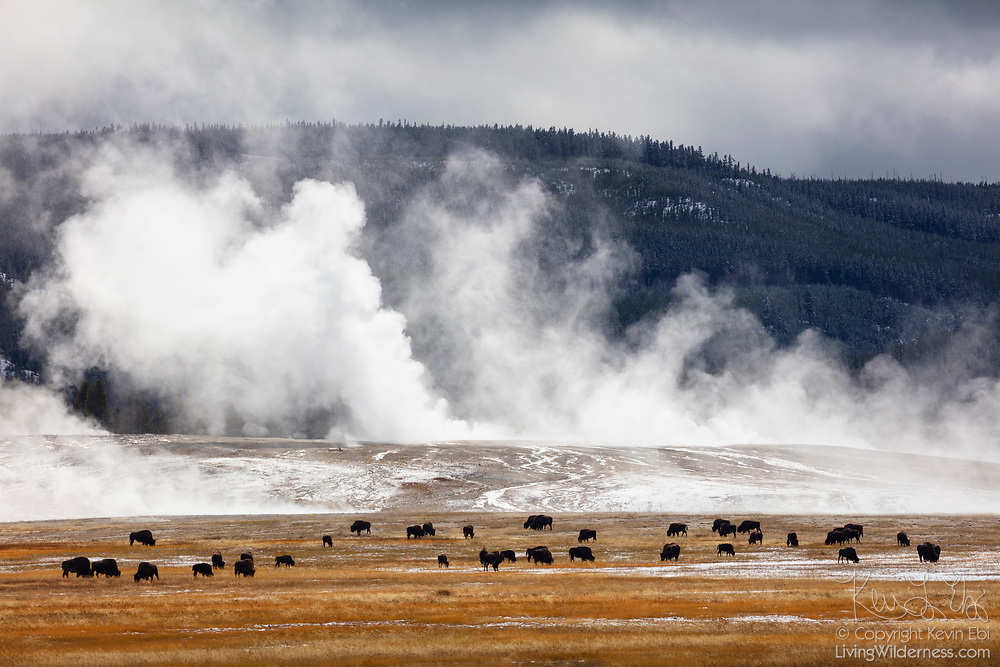A herd of bison (Bison bison) graze in an open field against a backdrop of steaming geothermal features in the Midway Geyser Basin of Yellowstone National Park, Wyoming.