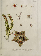 hand painted Botanical illustration of flower details leafs and plant from Miscellanea austriaca ad botanicam, chemiam, et historiam naturalem spectantia, cum figuris partim coloratis. Vol. I  by Nicolai Josephi Jacquin Published 1778. Figure 4