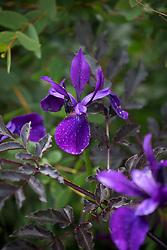 Iris 'Pansy Purple'
