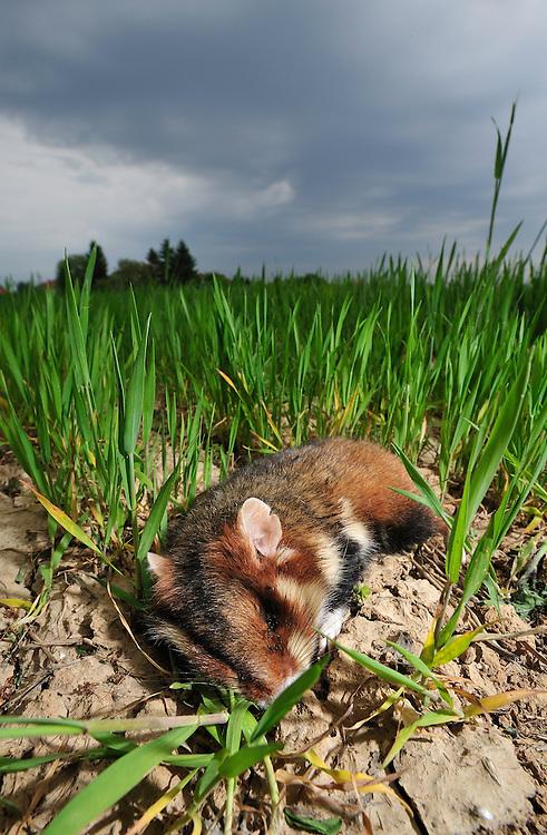 Dead common hamster (Cricetus cricetus), Werbkowice-Zamosc, Sunsilks,<br /> Poland
