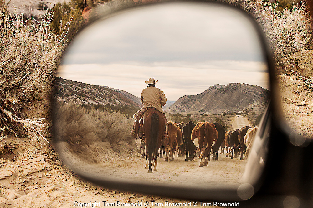 driving cattle on a balm road