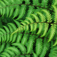 """Fern""<br /> <br /> Wonderful green ferns in a beautiful yet simple pattern!"