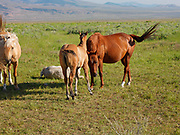 Horses including colt with mare on ranchlands along the Strevell Road just north of the Utah border, Cassia County, Idaho.