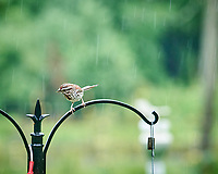Song Sparrow. Image taken with a Nikon D850 camera and 200 mm f/2 VR lens