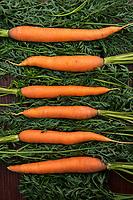 Farm fresh summer  carrot vegetables.
