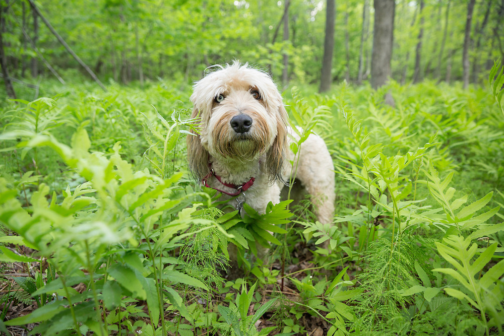 Fuzzy dog standing in the tall ferns looking at the camera