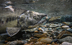 A male chum salmon (Oncorhynchus keta), makes its way up the special spawning channel of Herman Creek during the fall chum salmon run. This male's injuries were possibly inflicted by a bear hoping to make a meal of the fish.  <br /> <br /> These chum salmon are returning to freshwater Herman Creek near Haines, Alaska after three to five years in the saltwater ocean. Spawning only once, chum salmon begin to deteriorate and die approximately two weeks after they spawn. Both sexes of adult chum salmon change colors and appearance upon returning to freshwater. Unlike male sockeye salmon which turn bright red for spawning, male chum salmon change color to an olive green with purple and green vertical stripes. These vertical stripes are not as noticeable in females, who also have a dark horizontal band. Both male and female chum salmon develop hooked snout (type) and large canine teeth. These features in female salmon are less pronounced. <br /> <br /> Herman Creek is a tributary of the Klehini River and is only 10 miles downstream of the area currently being explored as a potential site of a copper and zinc mine. The exploration is being conducted by Constantine Metal Resources Ltd. of Vancouver, British Columbia along with investment partner Dowa Metals & Mining Co., Ltd. of Japan. Some local residents and environmental groups are concerned that a mine might threaten the area's salmon. Of particular concern is copper and other heavy metals, found in mine waste, leaching into the Klehini River and the Chilkat River further downstream. Copper and heavy metals are toxic to salmon and bald eagles.<br /> <br /> Chilkat River and Klehini River chum salmon are the primary food source for one of the largest gatherings of bald eagles in the world. Each fall, bald eagles congregate in the Alaska Chilkat Bald Eagle Preserve, located only three miles downriver from the area of current exploration.