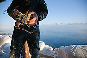 A diver holds a King Crab he has caught in a lake at Jarfjord, near Kirkeness, Finnmark region in northern Norway