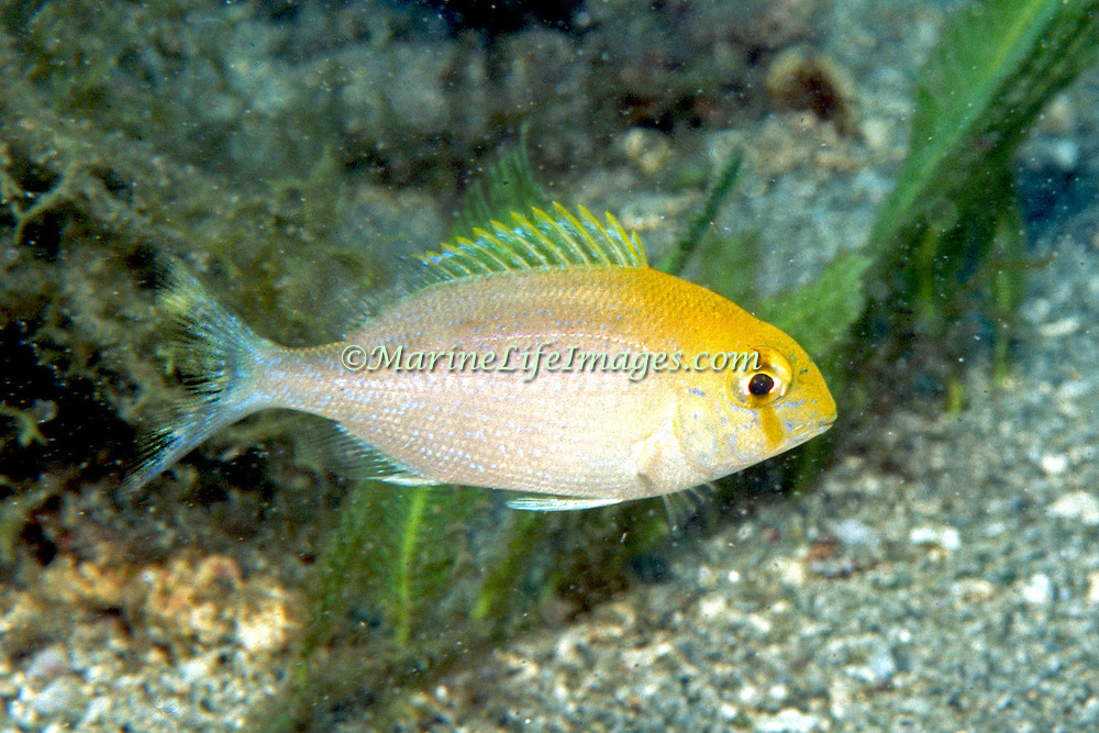 Saucereye Porgy, juvenile, hover above reefs and adjacent sand areas in Tropical West Atlantic; picture taken Dominica.