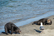 California sea otter or southern sea otter, Enhydra lutris nereis ( threatened species ), comes ashore to bask on the beach with other otters and a gull at Elkhorn Slough, Moss Landing, California, United States ( Eastern Pacific ); this is the only location where Pacific sea otters are known to come ashore regularly