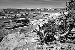 Twisted Juniper overlooking the Green River in Canyonlands National Park near Moab Utah.  I love the way the environmental hardship gives character to the junipers and how the Colorado Plateau falls apart in such a pleasant way.