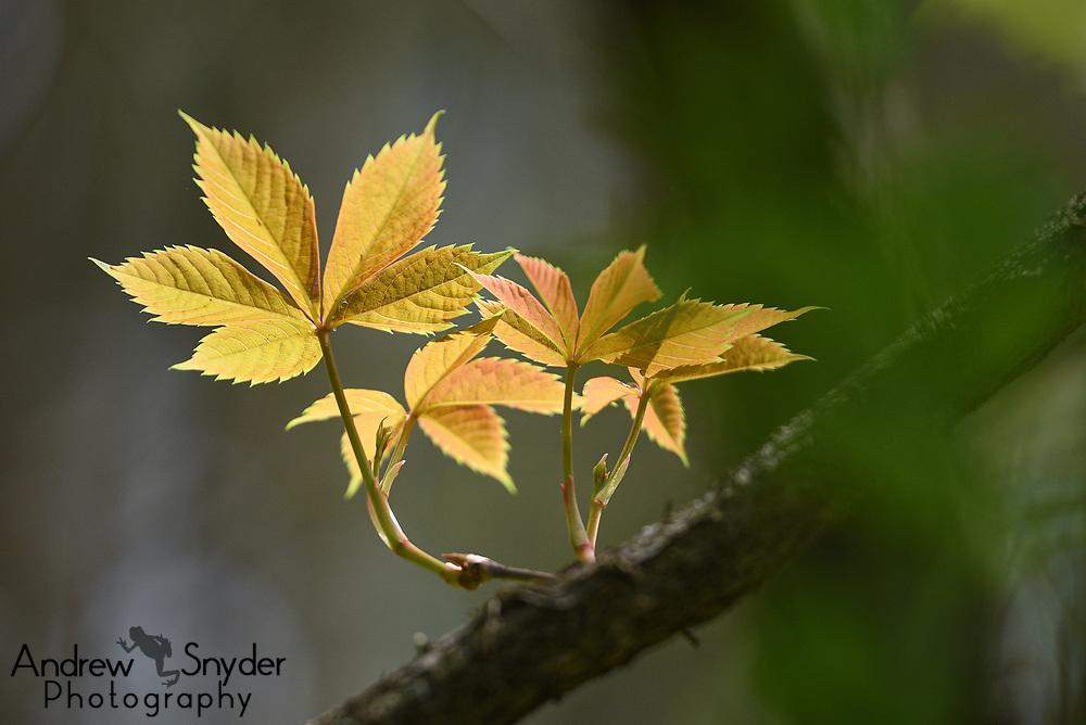 Early leaves of the Virginia creeper (Parthenocissus quinquefolia).