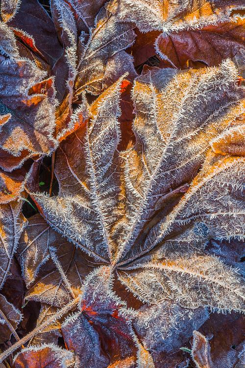 Bigleaf maple leaves (Acer macrophyllum), frost, November, Elwha River watershed, Olympic National Park, WA, USA