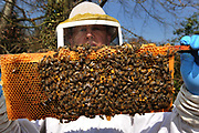 A bee keeper at his home in Buckinghamshire, England. Honey comb close up.