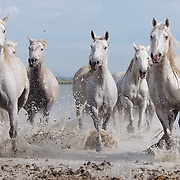 The famous white horses of the Camargue, France.