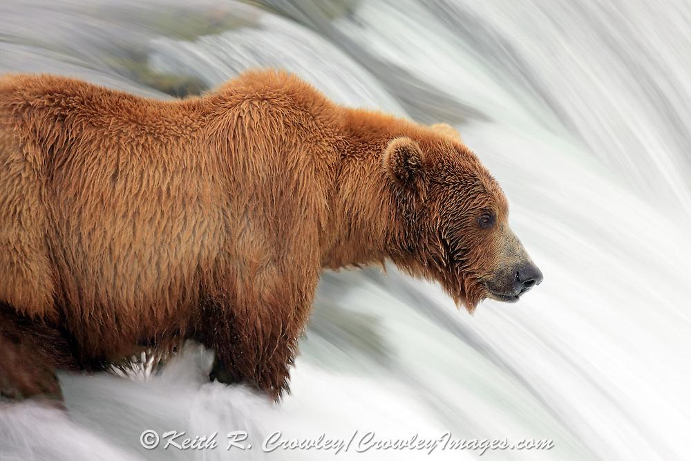 An Alaskan Brown bear waits for salmon to jump at Brooks Falls in Katmai National park near King Salmon, Alaska.