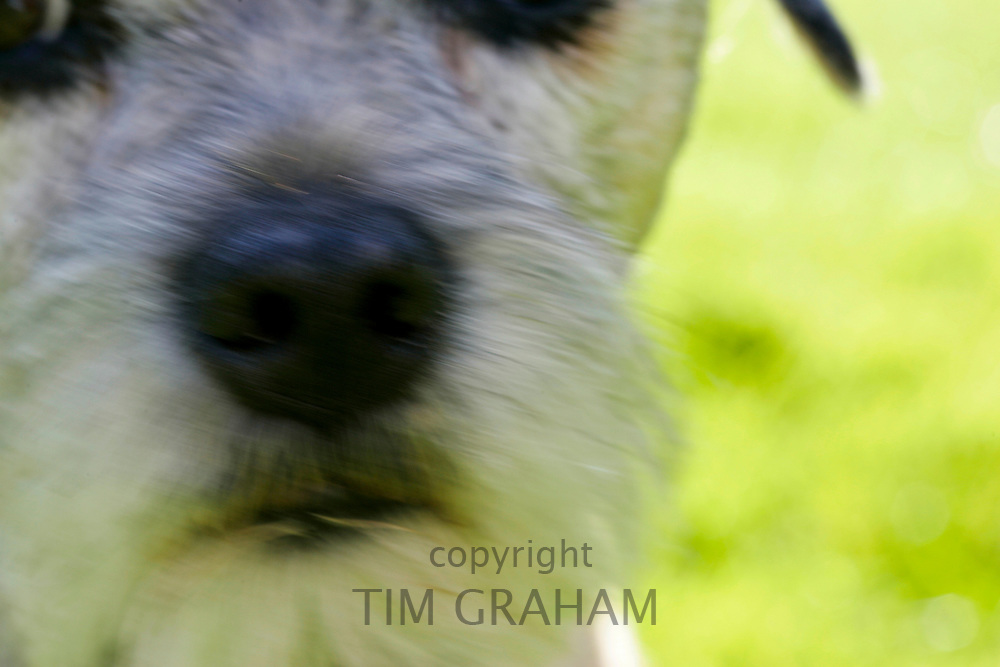 Border Terrier Dog close-up, England