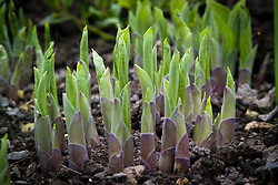 New shoots of hostas emerging from the soil in spring