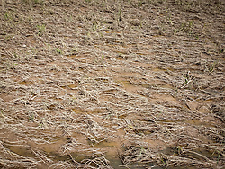 Standing crops, particularly of maize and beans, have been lost across Honduras because of the floods caused by hurricanes Eta and iota. Some rotted, some dried out, some sprouted, and the losses will have a huge impact among thousands of subsistence farmers who rely on the crops to survive.