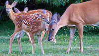Gossip Fawn. Outdoor Nature in New Jersey. Image taken with a Nikon D3s and 500 mm f/4 VR lens (ISO 1250, 500 mm, f/4, 1/400 sec). Image processed with Capture One Pro 6, and Photoshop CS5.