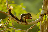 Prevost's Squirrel (Callosciurus prevostii) (aka Tri-colored Squirrel), in a strangler fig tree (Ficus dubia) in the rain forest canopy in Borneo.