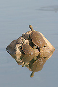 Caspian turtle or Striped-neck terrapin (Mauremys caspica). Israel