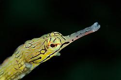 Corythoichthys flavofasciatus, Netz Seenadel, Kopfportrait, Network Pipefish, headportrait,  Bali, Indonesien, Indopazifik, Bali, Indonesia Asien, Indo-Pacific Ocean, Asia