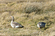Greylags - Greylag Geese, Anser anser, grazing in marshland in North Norfolk, UK