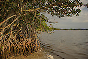 Tap roots of red mangrove (Rhizophora mangle) in Biscayne National Park, Florida.