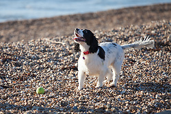 © Licensed to London News Pictures. 24/12/2014. Southsea, Hampshire, UK. A dog playing fetch with a ball on the beach enjoying the sunny weather today, Christmas Eve, in Southsea, Hampshire. Photo credit : Rob Arnold/LNP