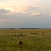 African Lion (Panthera leo) Lion Pride in Masai Mara National Park. Kenya. Africa.