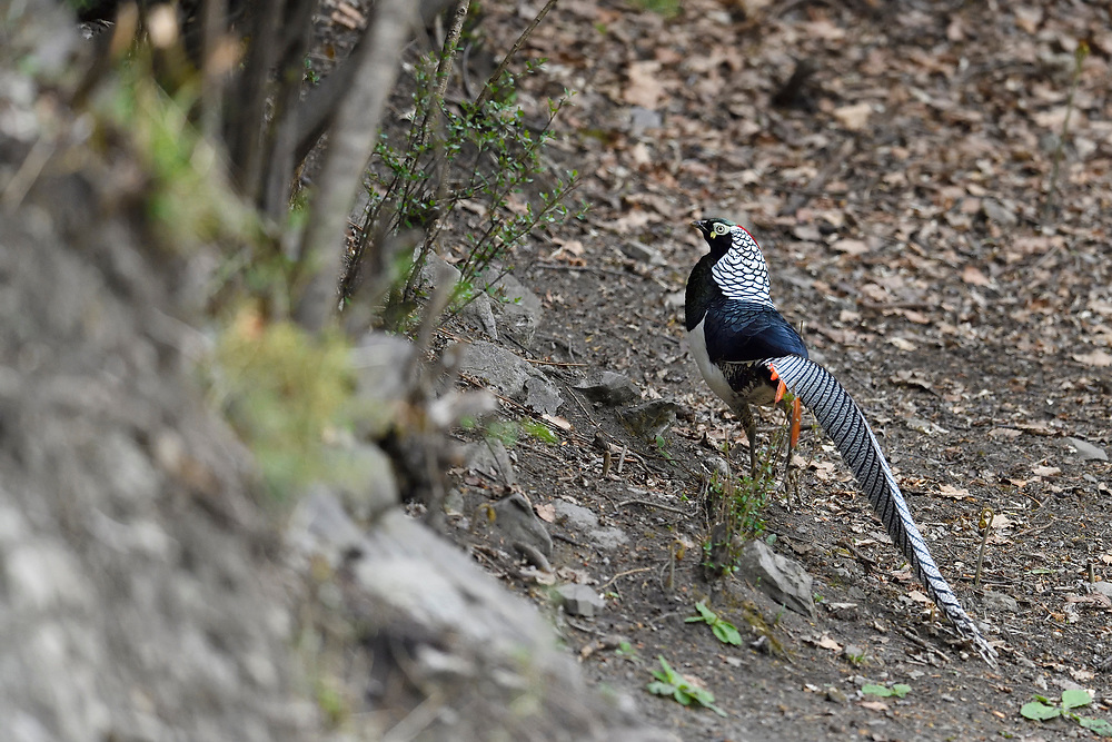 Lady Amherst's pheasant, Chrysolophus amherstiae, Kanding, Sichuan, China