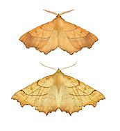 70.233 (1912)<br /> August Thorn - Ennomos quercinaria