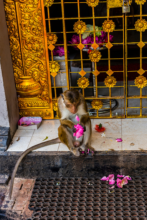 Monkey eating garlands of flowers, Anuradhapura, Sri Lanka. Anuradhapura is one of the ancient capitals of Sri Lanka, famous for its well-preserved ruins of an ancient Sri Lankan civilization.