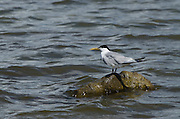 Cayenne Tern (Sterna sandvicensis eurygnatha)<br /> BONAIRE, Netherlands Antilles, Caribbean<br /> HABITAT & DISTRIBUTION: Coastal waterways on Atlantic coast of South America from the Caribbean to Patagonia.