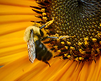Bee collecting pollen on a Sunflower. Image taken with a Nikon N1V3 camera and 70-300 mm VR lens (ISO 800, 300 mm, f/5.6, 1/100 sec).