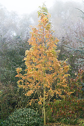 Metasequoia glyptostroboides 'Gold Rush' in winter - Dawn redwood