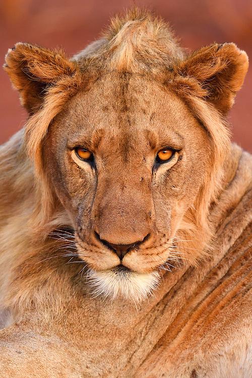 African lion, Panthera Leo, young male, Zimanga Private Nature Reserve, KwaZulu Natal, South Africa