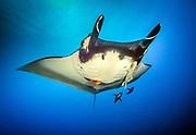 Giant Pacific Ocean Manta Ray, Socorro Island, MX