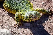 Yellow-green lizard (lacertilia) in the Sahara desert, Morocco.