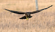 Swainson's hawk hunts for dinner, Grand Teton National Park, Wyoming