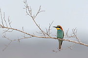 European bee-eater (Merops apiaster) from Kruger NP, South Africa, in October.
