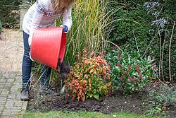 Mulching a border in autumn