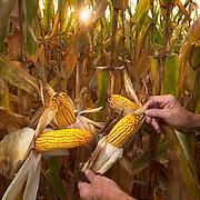 Randy Sims holds corn grown at his farm near Liberty, Illinois. Nathan Lambrecht/Journal Communications
